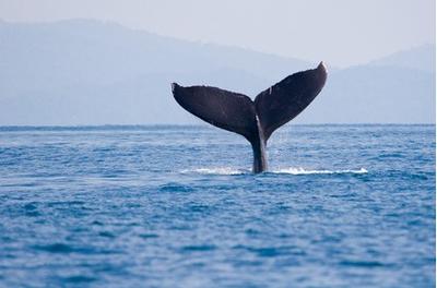 Stagione delle balene a Puntarenas - Costa Rica